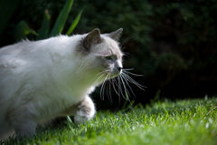 Ragdoll cat on the prowl. A young cat with long whiskers is tracking prey in green grass Stock Image