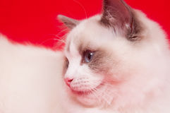 Ragdoll cat on red Royalty Free Stock Photo
