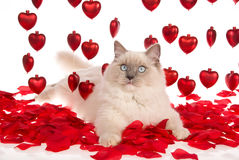 Ragdoll cat with red rose petals and red hearts. Ragdoll cat lying on red rose petals with strings of red hearts, on white background Royalty Free Stock Images