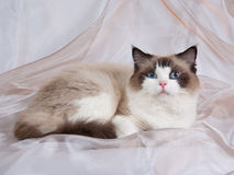 Ragdoll cat seal bi-color. Ragdoll seal bi-colour on champagne backdrop Stock Photos