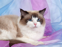 Ragdoll cat seal bi-color. Ragdoll seal bi-color cat on pink and blue backdrop Stock Photo