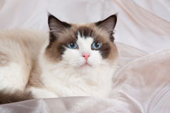 Ragdoll cat seal bi-color. Ragdoll seal bi-color cat on champagne colored backdrop stock photo