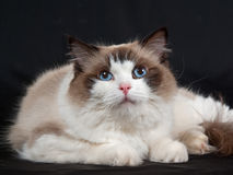 Ragdoll cat seal bicolor on black velvet Royalty Free Stock Image