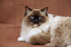 Ragdoll cat seal point. Seal point Ragdoll cat on brown suede backdrop stock image