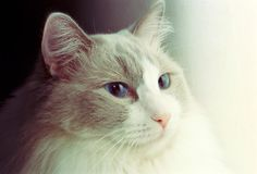 Ragdoll Cat - shot with analogue film. Ragdoll Cat portrait/close up. Image is taken with a full-frame analogue film camera stock photos