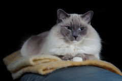 Ragdoll cat sits on a blanket Stock Images