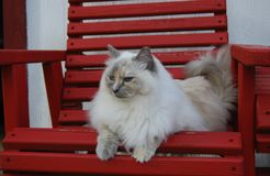 Ragdoll cat sitting on a chair Royalty Free Stock Photos