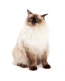 Ragdoll Cat Sitting With Curious Expression Stock Photography