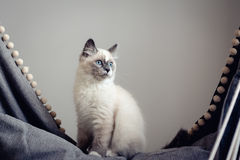 Ragdoll cat sitting stock photo