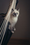 Ragdoll cat sitting royalty free stock photo