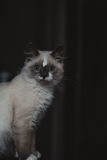 Ragdoll cat sitting royalty free stock photography