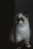 Ragdoll cat sitting stock image
