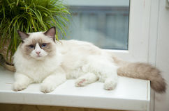 Ragdoll cat sitting near the window. Ragdoll cat sitting on the luggage near the window stock photo