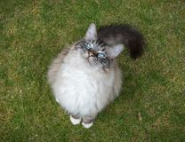 Ragdoll Cat Sitting Outdoors On A Grass Lawn Looking Up At The Camera Stock Photos