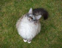 Ragdoll Cat Sitting Outdoors On un césped de la hierba que mira para arriba la cámara Fotos de archivo