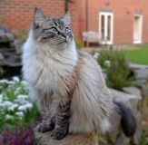 RAGDOLL CAT. SITTING ON STONE WALL OUTSIDE WITH FLOWERS Stock Image