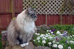 RAGDOLL CAT. SITTING ON STONE WALL OUTSIDE WITH FLOWERS Stock Photos