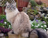 RAGDOLL CAT. SITTING ON STONE WALL OUTSIDE WITH FLOWERS Stock Photography