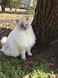 Ragdoll Cat sitting by a tree Stock Image