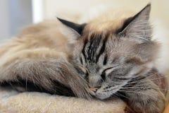 RAGDOLL CAT. SLEEPING ON CAT BED Stock Image