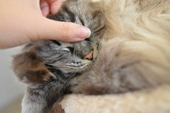 RAGDOLL CAT. SLEEPING ON CAT BED BEING STROKED FUSSED BY OWNER Royalty Free Stock Photography