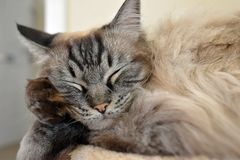 RAGDOLL CAT. SLEEPING ON CAT BED  LEANING ON HIS PAW Royalty Free Stock Photos
