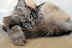 RAGDOLL CAT. Sleeping fluffy longhaired Pedigree Ragdoll cat Royalty Free Stock Photos