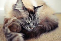 RAGDOLL CAT. Sleeping fluffy longhaired Pedigree Ragdoll cat Royalty Free Stock Image