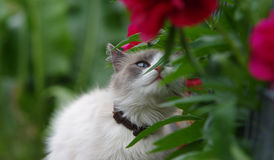 Ragdoll cat sniffing flower royalty free stock image