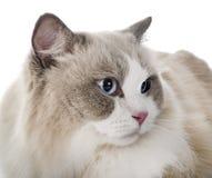 Ragdoll cat in studio stock photo