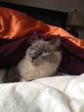 Ragdoll cat under blanket. Looking cute ragdoll cat waits snuggled underblanket enjoying morning sunlight Stock Image