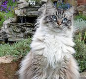 RAGDOLL CAT. WATCHING BIRDS OUTDOORS Stock Images
