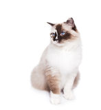 Ragdoll Cat on White. Beautiful blue eyed seal tortie Ragdoll cat on a white background. Copy space for your type royalty free stock photography