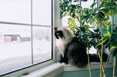 Ragdoll cat at window Stock Photo