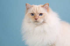 Ragdoll cat in winter fur. Cream point ragdoll cat in winter fur Royalty Free Stock Images