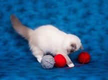 Ragdoll cat with yarn on blue Royalty Free Stock Photos