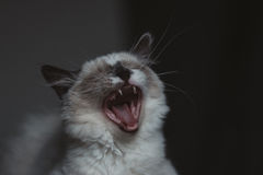 Ragdoll cat yawning Royalty Free Stock Photo