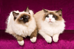 Ragdoll cats on burgundy background Stock Photos