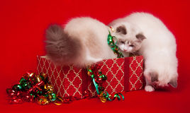 Ragdoll cats investigating gift boxes Royalty Free Stock Photography