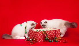Ragdoll cats investigating gift boxes Royalty Free Stock Image