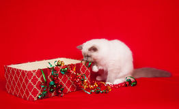 Ragdoll cats investigating gift boxes Stock Photos
