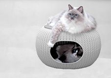 Ragdoll cats in pet home. Stock Photography