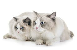 ragdoll cats in studio stock image