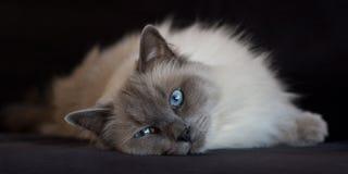 Ragdoll de point bleu sur le noir Images stock