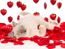 Ragdoll die op rode roze bloemblaadjes en rode harten ligt Stock Foto