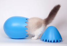 Ragdoll and easter egg Royalty Free Stock Images