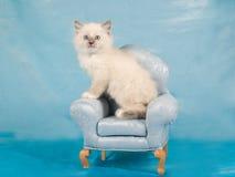 ragdoll för gullig kattunge för stol mininätt Fotografering för Bildbyråer