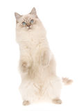 Ragdoll on hind legs, on white background Royalty Free Stock Photography