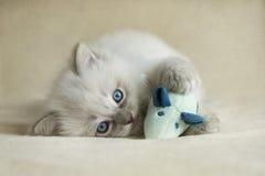 Ragdoll Kätzchen Stockfoto