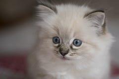 Ragdoll Kätzchen lizenzfreie stockfotos